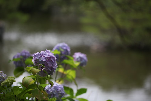 水際の紫陽花