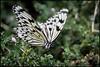Paper Kite Butterfly (Idea leuconoe) (PropWA) Tags: seattle canon butterfly washington unitedstates pacificsciencecenter fav10 tamronspaf1750mmf28xrdiii