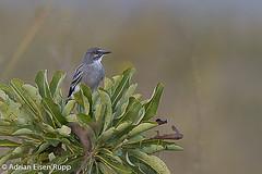 Gray Monjita, primavera (eisenrupp) Tags: minas gerais birding aves da brazilian cerrado serra canastra merganser patomergulhão