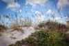 Daisies and Dunes ~ (FLGalleria) Tags: sky beach daisies sand dunes ie seaoats magicunicornverybest magicunicornmasterpiece