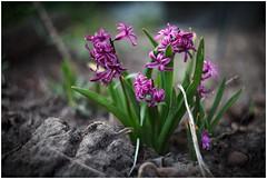 IMG_0861 (Moon...) Tags: russia hyacinth цветы moskovskayaoblast гиацинты helios44m75820
