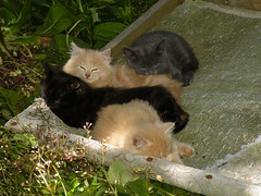 sleepy kittens (rospix) Tags: uk cute nature animal june wales cat countryside kitten sleep kittens litter 2014 rospix