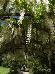 wisteria arch (rospix) Tags: uk flowers white flower nature june wales countryside wisteria 2014 rospix