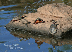 Eastern Painted Turtles Basking in the Sun at Duke Farms in Hillsborough NJ (takegoro) Tags: nature animals reflections wildlife turtles sunbathing sanctuary naturepreserve reptiles eastern dukefarms nj painted hillsborough