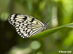 Butterfly (HASAN_ADEL) Tags: macro green nature beautiful beauty canon butterfly bug insect natural micro جمال حشرة جميل طبيعة buttrflies فراشة ماكرو كانون حشرات فراشات ميكرو موث