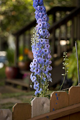 8157 Majestic Delphinium (eyepiphany) Tags: gardening echo delphinium bluedelphinium joyofgardening magnificendelphinium tallfloweringperrenials
