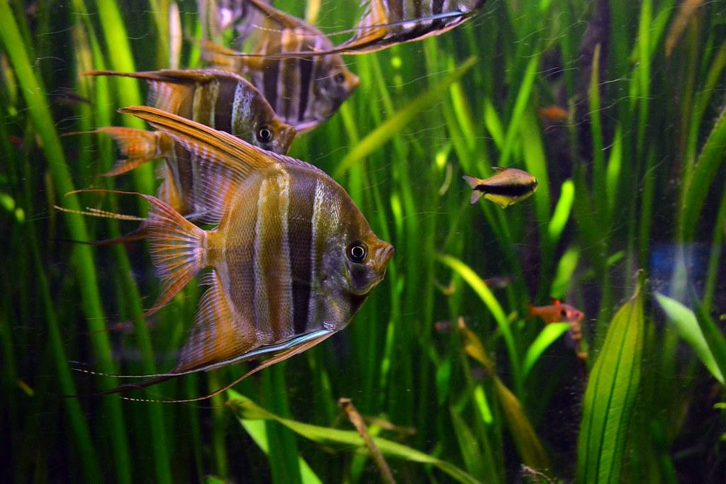The world 39 s best photos of angelfish and skalar flickr for Skalar aquarium