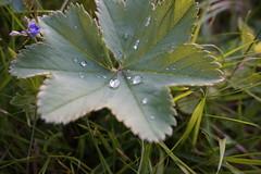 DSC00307 (Henrik Olof Nystrm) Tags: sun macro green nature water grass leaf sony waterdrops a5000