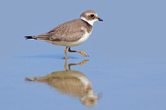 Borrelho grande de coleira - Ringed plover - Charadrius hiaticula (Yako36) Tags: portugal bidos ave bird birdwatching nature natureza tc14e nikonafs300f4 nikond7000