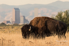 October 9, 2016 - A Bison grazes at the Rocky Mountain Arsenal. (Tony's Takes)