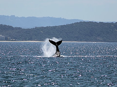 RAINBOW BAY,  GOLD COAST,  02.10.2016 (16th man) Tags: snapperrocks tweedheads rainbowbay coolangatta greenmount whale humpbackwhale goldcoast peduncleslap whaletail canon eoseos 5d mkiiinswqldpoint danger