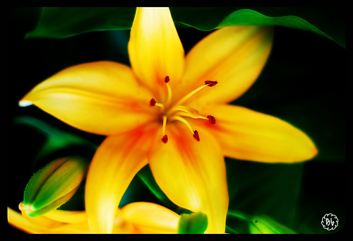Lilies1