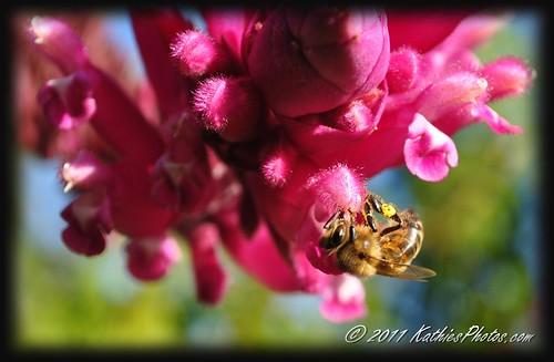 164-365 Bee on Salvia