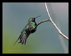 Zumbador Esmeralda (Chlorostilbon swainsonii) (Dax M. Roman E.) Tags: zumbadoresmeralda chlorostilbonswainsonii hispaniolanemerald