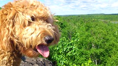 I love walks in the bush (eastick_east) Tags: jack goldendoodle laurentian laurentianconservationarea flickroid