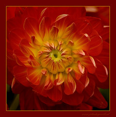 Red, yellow and some green [Explored] (John de Grooth) Tags: dahlia red copyright green yellow symmetry tuin copyrighted vroegevogels symmetrisch symmetryinnature johndegrooth wwwjohndegroothnl info0599615058