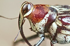 Fly weevil (Conoderinae) (pbertner) Tags: macrolife notyournormalbug