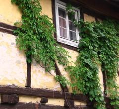 (:Linda:) Tags: house window germany town decay thuringia climber halftimbered fachwerk timberframing kletterpflanze heldburg wilderwein wildvine unterland