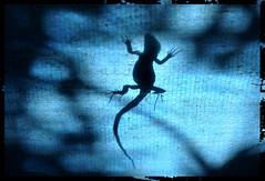 Scaldarsi al sole (cl_d) Tags: ombra animali siluette lucertola flickraward