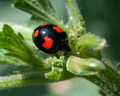 Harlequin Ladybird harmonia axyridis spectabilis (Barry's) (Barry & Carole Bowden AWAY FOR A WHILE) Tags: ladybird harlequin spectabilis harmonia axyridis