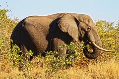 grass builds muscles and bones---see (AJAY B2010) Tags: elephant game animals southafrica safari krugernationalpark bigfive wildanimals ajaybhoopchand