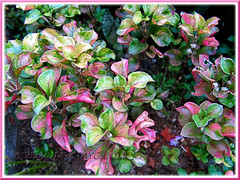 Alternanthera ficoidea with colourful variegated foliage in our garden
