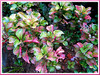 Alternanthera ficoidea (Joseph's Coat, Parrot Leaf, Calico Plant, Sanguinarea, Bloodleaf, Joyweed, Copperleaf)