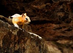 Squirrel (irakshit) Tags: banff canadianrockies banffrockies photocontesttnc11