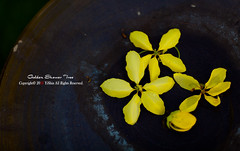IMG_17 (yishinyen) Tags: tree canon shower golden bokeh contax   5dii sp60mm
