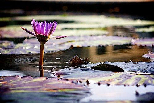 Purple pond lily.