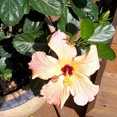 hibiscus (Linda A Doherty) Tags: sun shrub apricotflower tropicalhibiscus