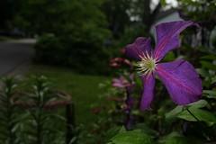 image (Creative_Light_Photography) Tags: brown flower macro spring fuji purple huntsville alabama clematis tyler fujifilm 2014 strobist x100s