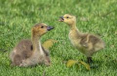 Goslings 14 (Jan Crites) Tags: park river geese illinois nikon babies geneva wildlife sigma goslings foxriver waterfowl canadageese islandpark d600 150500mm jancritesphotography