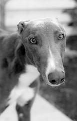 Toby (forayinto35mm) Tags: uk greatbritain england blackandwhite dog london film woof 35mm 50mm minolta canine ilfordhp5 35mmfilm doggy ilford minoltadynax5 batterseadogshome blackandwhitefilm ilfordfilm bluegreyhound