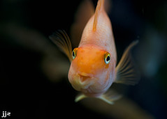 Fish Face (Jeremy J Saunders) Tags: orange fish macro up happy j nikon dof close nemo jeremy jjs saunders d800