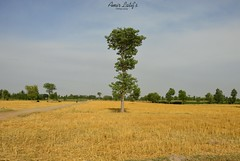 Field after Harvesting- Chiniot