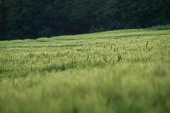 a58-04780 (krwlms) Tags: feld grn korn frhling