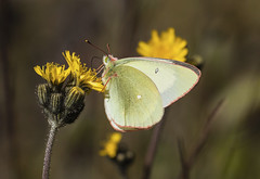 Soliatire (sosivov) Tags: macro yellow butterfly sweden papillon insecte solitaire moorlandcloudedyellow