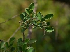 Desmodium ferrugineum Thwaites (dinesh_valke) Tags: shrub fabaceae peafamily papilionaceae beanfamily legumefamily desmodiumferrugineum rustydesmodium thantanpull