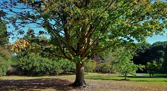 """Sugar Maple"" Acer Saccharum. North America. (standhisround) Tags: sugarmaple trees tree nature royalbotanicalgardens rbg kewgardens kew london uk autumn leaves acersaccharum northamerica"