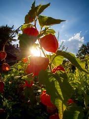 End of summer (Kaba264) Tags: olympus ep5 summer sommer mft lampion sky himmel sun sonne flower