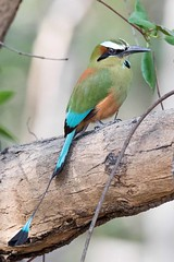 MotMot (arthurpolly) Tags: avian avianexcellence anawesomeshot abigfave beautiful birds blueribbonwinner betterthangood 7dmk2 canon costarica 100400is eos elements13 exotic flickrdiamond holiday impressedbeauty motmot nature natureselegantshots naturesfinest nationpark photoshop platinumphoto unforgettablepictures wildlife wild z