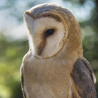 Barn Owl ~ Explored
