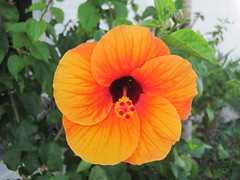 "Orange and purple hibiscus with a ""come hither"" look (Joel Abroad) Tags: orange flower hawaii hibiscus honolulu"