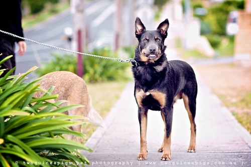 Can't wait to hit the park, Baxter the Kelpie, photographed by twoguineapigs pet photography.