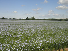 Field of blue flowers Photo