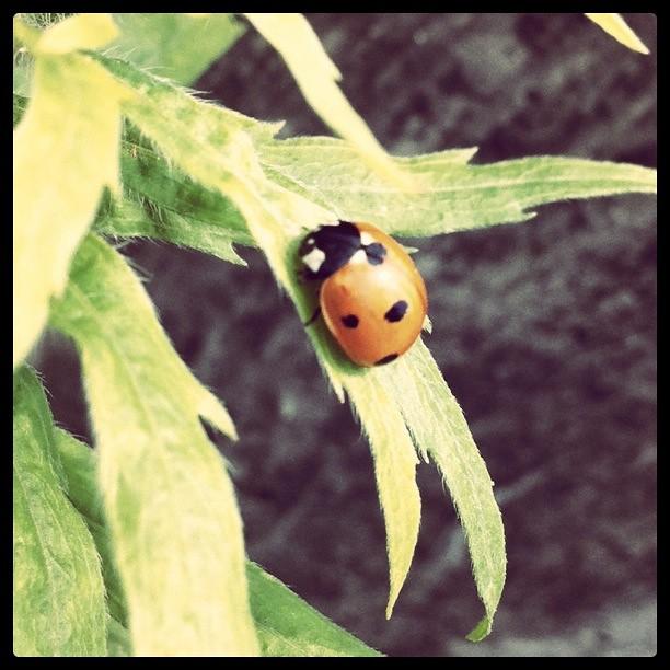 Urban Ladybird