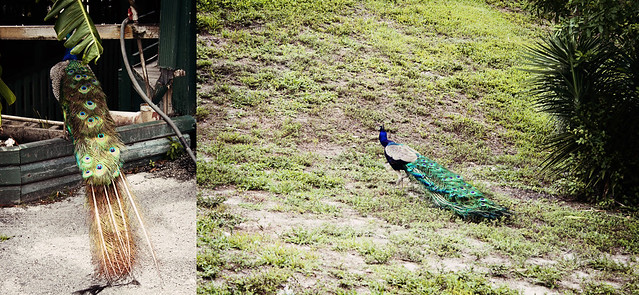 Everglades Holiday Park peacock diptych