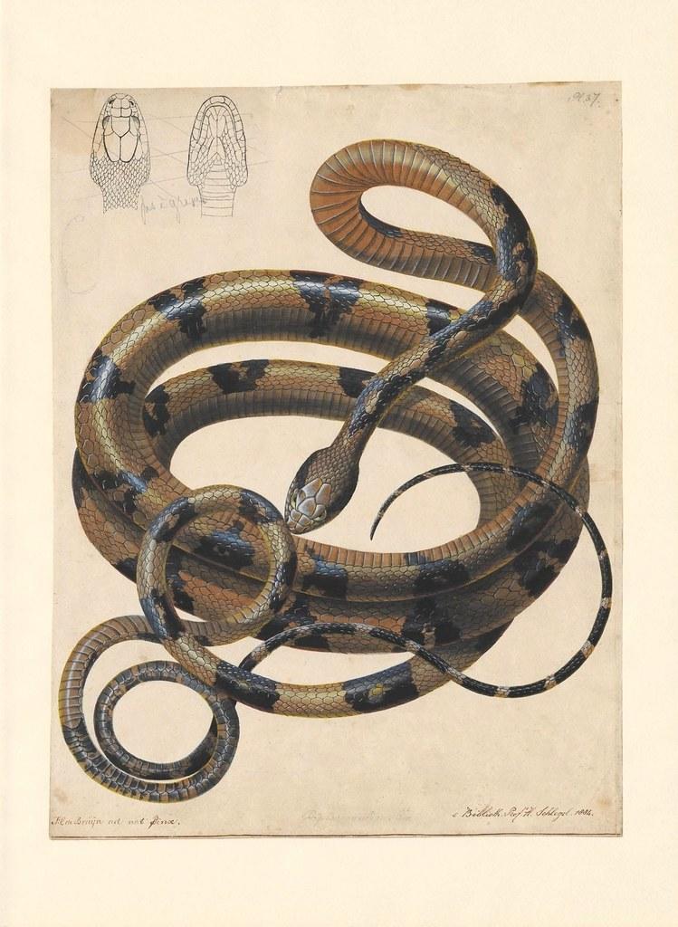 Boiga cynodon Boie. (1802-1844)