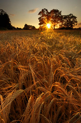 Barley Sunset {Explored} (Chris Beesley) Tags: pentaxk5
